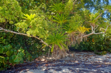 aechmea: Lush epiphytes Bromeliads over tree in a Caribbean beach, Costa Rica
