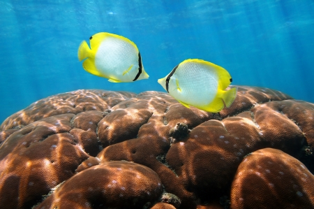 ocellatus: Two colorful tropical fish Spotfin Butterflyfish, Chaetodon ocellatus, with hard coral in background, Caribbean sea,