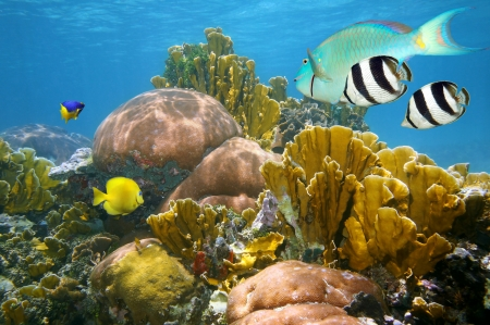 Undersea scene with healthy coral reef and colorful tropical fish, Caribbean sea photo