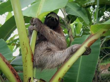 brown throated: Three-toed sloth hanging from a banana tree, Costa Rica Stock Photo