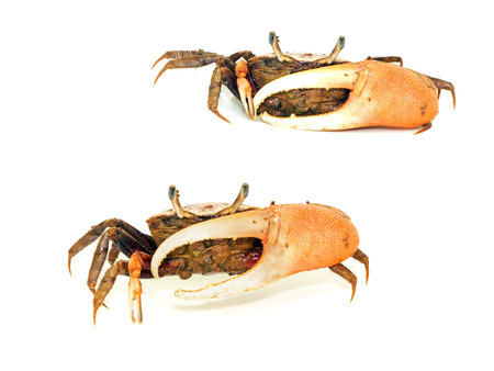 fiddler: Fiddler crab with big claw isolated on white background
