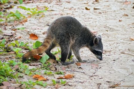 procyon: Raccoon on the beach in the national park of Cahuita, Caribbean, Costa Rica