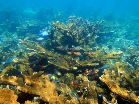 Underwater coral reef with school of tropical fish, Caribbean sea, Bay islands, Honduras photo