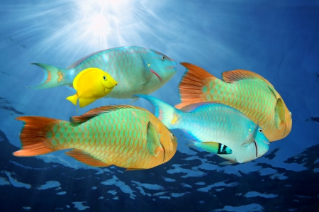 rainbow fish: Parrotfish, colorful tropical fish with sunlight under water surface,  Caribbean sea