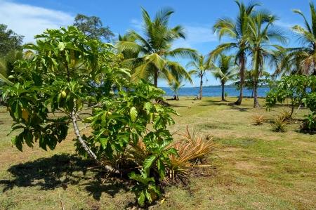 great morinda: Noni tree, Morinda Citrifolia, with tropical vegetation and the Caribbean sea in background, Panama, Central America Stock Photo