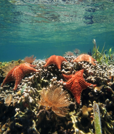 oreaster reticulatus: Underwater scenery with sea stars and feather duster worm on a coral reef, Caribbean sea Stock Photo