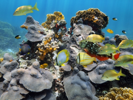 belize: Under water scene with healthy coral and colorful reef fish, Caribbean sea, Belize