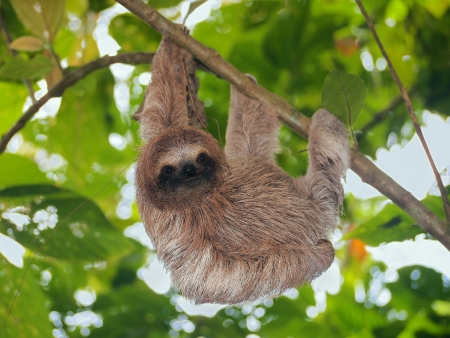 Young brown throated sloth hanging from a branch in the jungle, Bocas del Toro,  Central America