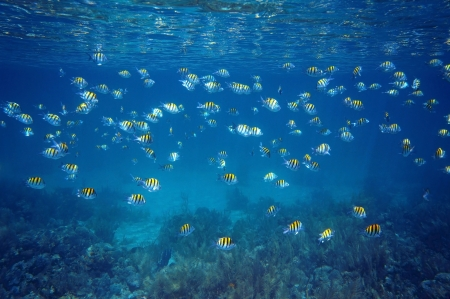School of fish Sergeant-major with water surface ripples and coral reef seabed, Caribbean sea, Martinique photo