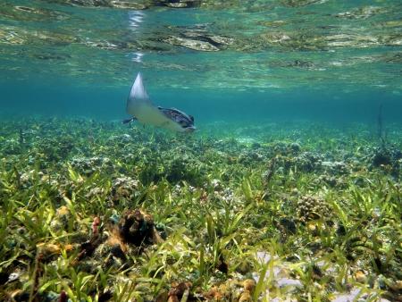 narinari: Spotted eagle ray Aetobatus narinari near water surface in a shallow coral reef, Caribbean sea