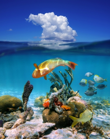 Waterline with underwater colorful tropical marine life and above surface blue sky with a cloud, Caribbean sea Banque d'images