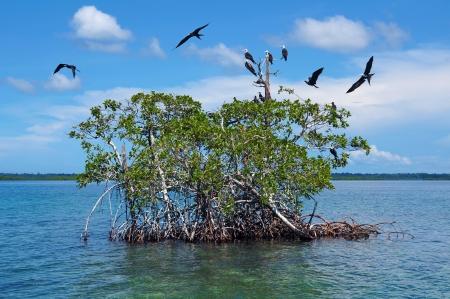 seabird: Islet of mangrove with seabird Magnificent Frigatebird, Caribbean sea, Bocas del Toro, Panama