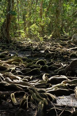 boom wortels: Vreemde boom wortels in de tropische bossen van Panama
