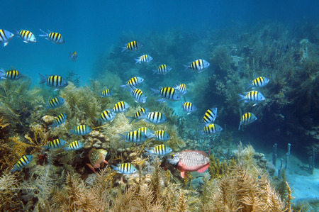 shoal: Shoal of fish Sergeant major on a coral reef seabed, Caribbean sea, Martinique