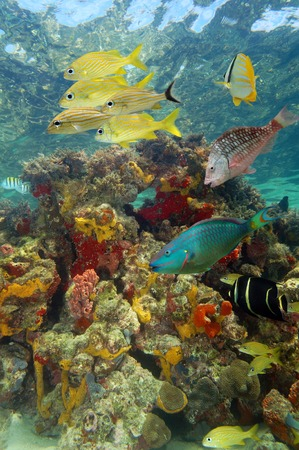 Underwater scenery in a coral reef with tropical fish and colorful marine life of Caribbean sea photo