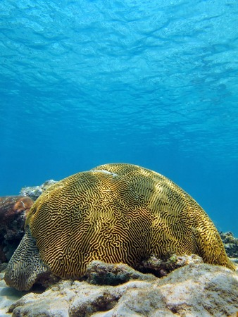 brain coral: Symmetrical brain coral with water surface in the Caribbean sea Stock Photo