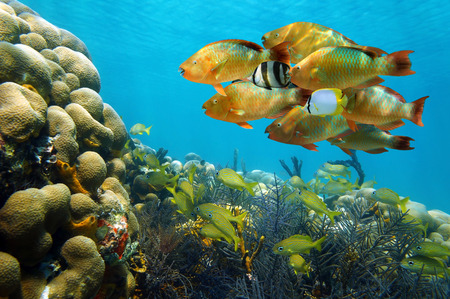 colorful water surface: Underwater scenery in the Caribbean sea with a shoal of colorful tropical fish in a coral reef, Bocas del Toro, Panama