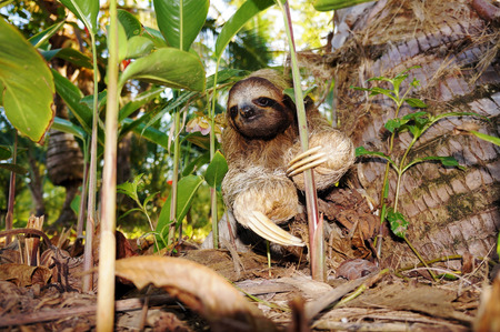 limon: Three-toed sloth on the ground, Costa Rica, Central America