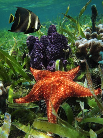 Underwater starfish with branching tube sponge and an angelfish  in the Caribbean sea, Belize Stock Photo