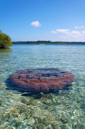 starlet: Massive starlet coral under water surface in the Caribbean sea, Bocas del Toro, Panama