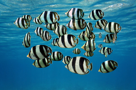 school of fish: Shoal of tropical fish, Banded butterflyfish, with water surface in background, Caribbean sea