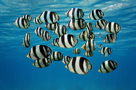 Shoal van tropische vissen, Banded butterflyfish, met het wateroppervlak in de achtergrond, Caribische zee