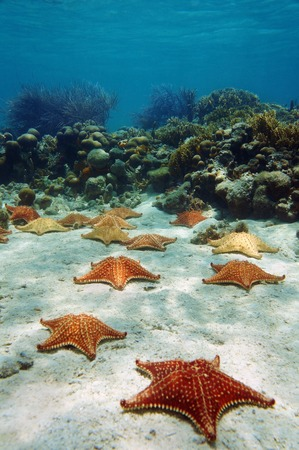 Many starfish underwater with a coral reef, Atlantic ocean, Bahamas islands