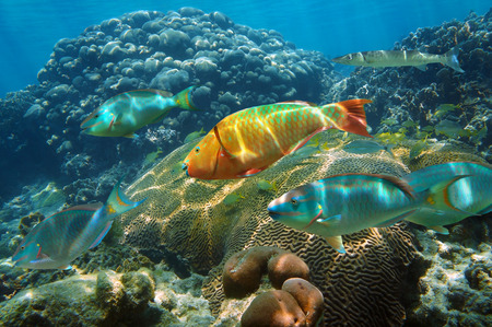 Underwater scenery in the Caribbean sea with colorful shoal of fish in a healthy coral reef, Mayan Riviera, Mexico