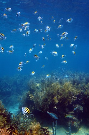 major ocean: Shoal of sergeant major fish over a coral reef in the Caribbean sea, Martinique
