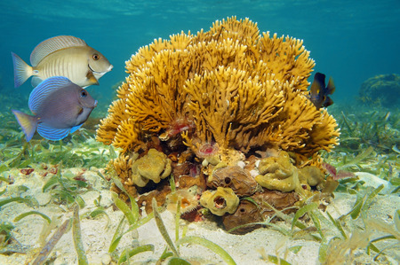 branching: Seabed with branching fire coral, Millepora alcicornis, and tropical fish in the Caribbean sea