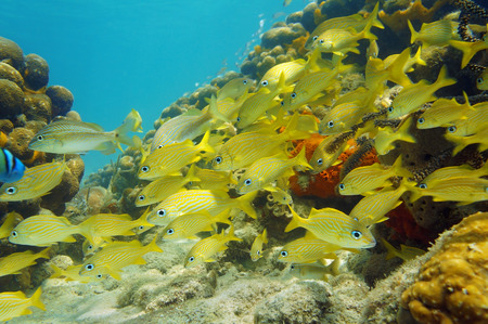 Underwater scene in the Caribbean sea with a school of fish  French grunt  in a coral reef photo