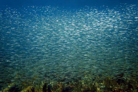 school of fish: Large shoal of small fish swimming together, Caribbean sea, Bocas del Toro, Panama Stock Photo