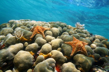 oreaster reticulatus: Underwater coral with two starfish and water surface in background, Caribbean sea