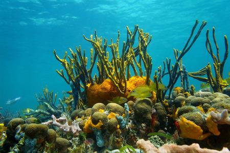 カリブ海、メキシコのサンゴ礁のカラフルな海洋生物が水中の風景