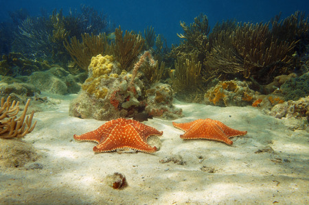 Two starfish underwater on sandy seabed with corals in background, Caribbean sea