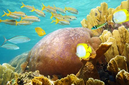 school of fish: Underwater, healthy coral reef with fish school, Caribbean sea