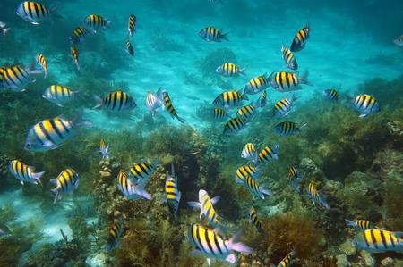 school of fish: Underwater fish school, Abudefduf saxatilis, swim on coral reef Stock Photo