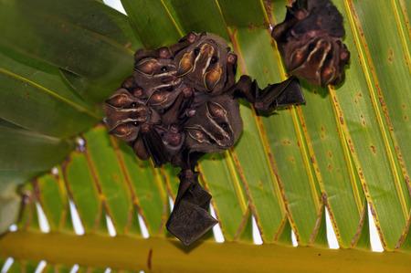 fruit bat: Tent-Making Bats under a palm leaf Stock Photo