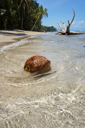 A coconut washes ashore on a tropical beach, Caribbean sea, Costa Rica photo
