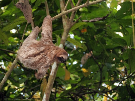 brown throated: Sloth hanging from a branch in the jungle of Panama, Central America