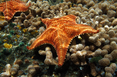 cushion sea star: Starfish underwater, Oreaster reticulatus, over coral seabed