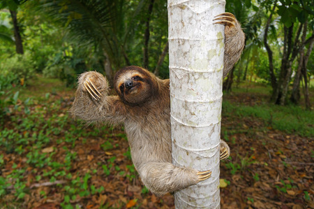 Brown-throated sloth climbs on a tree, Panama, Central America Banque d'images