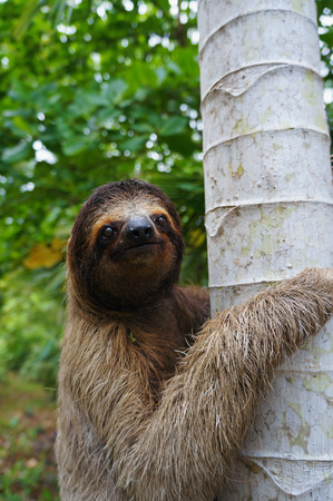 toed: Portrait of three-toed sloth climbs on a tree, Panama, Central America