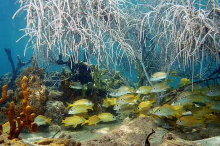 A shoal of grunt fish under gorgonian sea plume in a coral reef, Atlantic ocean