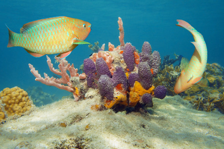 branching coral: Underwater world with colorful tropical fish and sponges in the Caribbean sea