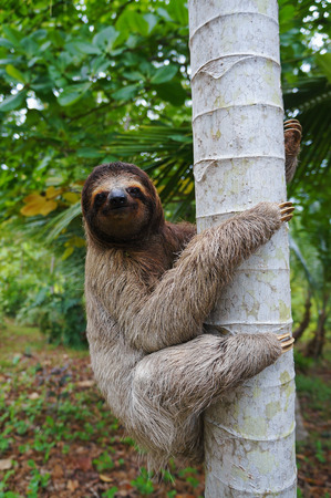 brown throated: A three-toed sloth climbing on a tree, Panama, Central America Stock Photo