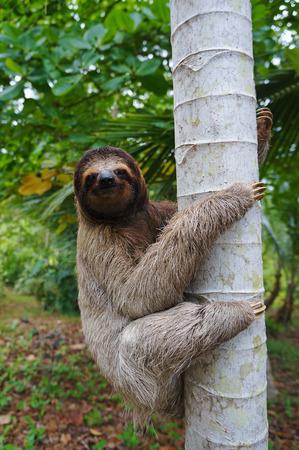 oso perezoso: Una escalada perezoso de tres dedos en un árbol, Panamá, América Central
