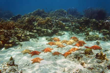 cushion sea star: Many starfish, Oreaster reticulatus, underwater in a coral reef