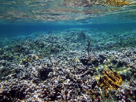 stony corals: Finger coral colonies, Porites porites, in a reef close to water surface, Caribbean sea, Panama Stock Photo