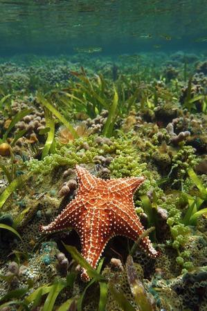 oreaster reticulatus: Cushion sea star Oreaster reticulatus, underwater, in a shallow coral reef, Caribbean sea